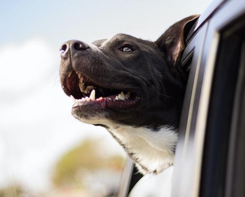 как путешествовать с собакой на машине