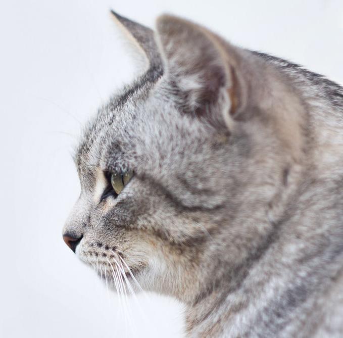 •как вылечить кошку от лишая народными методами